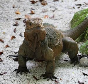 Iguane à Manati Park