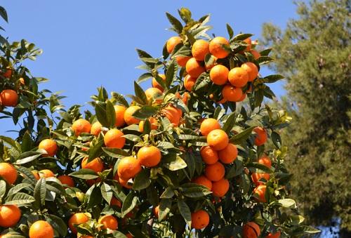 Orangers espganol